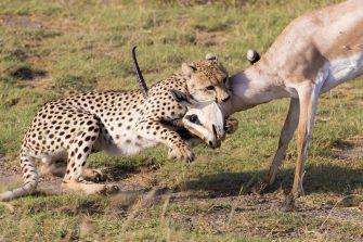 Cheetahs Prosper